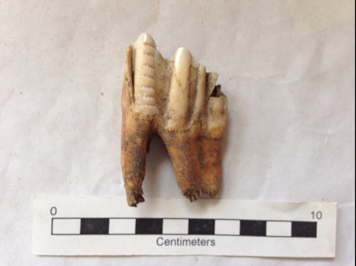 Cow tooth sampled for tooth enamel